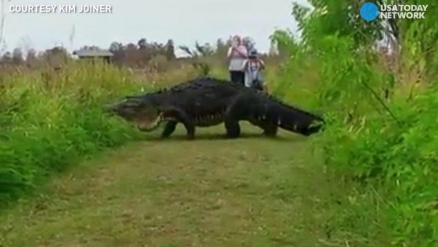 VIDEO: Gigantický aligátor na Floridě!