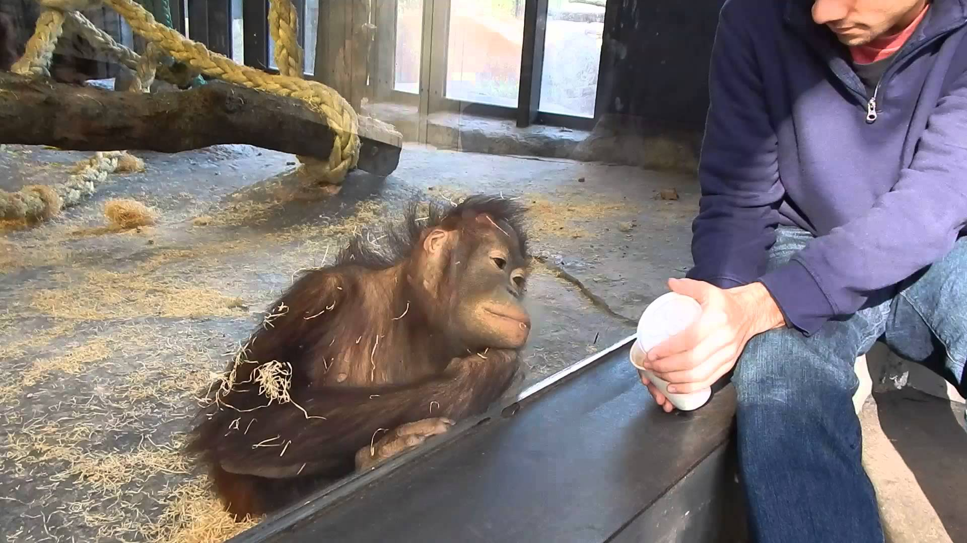 VIDEO: Jak reaguje opice na magický trik?