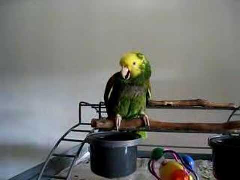 VIDEO: Papoušek imituje pláč dítěte