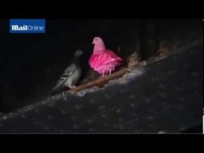 VIDEO: Růžový holub – hříčka přírody, nebo vtípek?