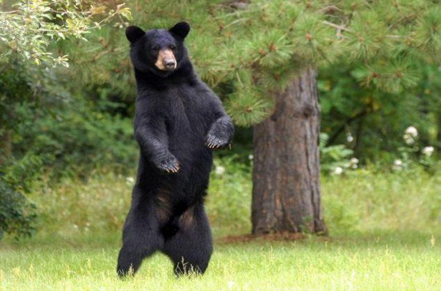 wandering-bear