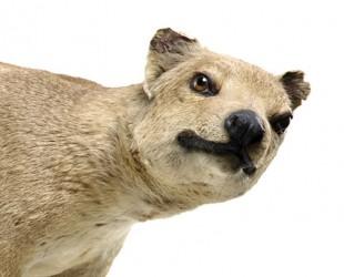 wild-Thylacine-specimen