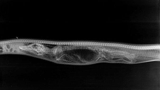 Den první: Na snímku je dobře patrná lebka, tělo i ocas aligátora stlačeného v hadích útrobách.